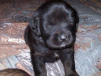 AKC registered TM puppies. $1800.00 deposits being