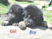 Akc Tibetan mastiff puppies. Males and females. Black