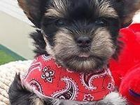 He is a Akc T cup traditional male yorkie that brings