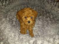 Taj is a red AKC Toy Poodle currently weighing 2.2