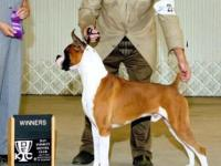 Lieben Boxers is proud to announce the Boxer litter of