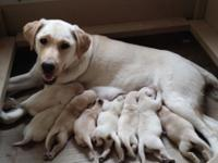 We have a litter of AKC registered yellow Labrador