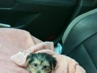 Female yorkie puppy, has current health certificate