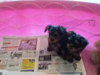 Akc yorkie puppies! I have two males left for rehoming.