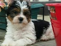 Akc full blood male yorkie that may carrie chocolate