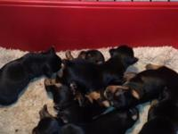 I have 2 female yorkie young puppies for sale. The