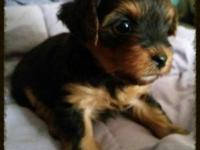 AKC signed up yorkie young puppies just born Nov 15. We
