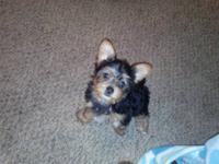 Akc yorkie puppies for sale. Vet checked and come with