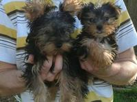 I have 2 female and 3 male AKC Yorkies that will be