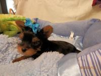 AKC Yorkshire Terrier Puppy Male Jaden 1000.00 Jaden