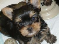Male AKC Yorkshire Terrier young puppy. He is a doll