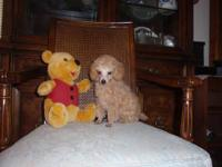 AKC POODLE PUP Male He is charting to be -6lbs. as