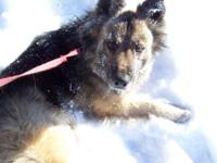 Akita - Brewster - Extra Large - Adult - Male - Dog