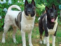Akita - Brody & Belle Ct - Large - Young - Male - Dog