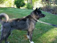 Japanese Akita adult male 8yrs old neutered Black with