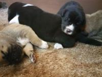 Akita/Great Dane mix puppies. We have 2 females and 3