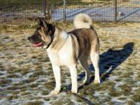 Akita - Libby - Large - Adult - Female - Dog 1. This