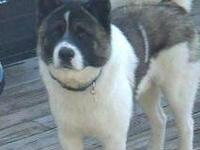 Akita - Lost Dog Kody - Extra Large - Adult - Male -