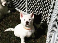 Animal Type: Dogs Breed: Akita 2 males 1 female left.