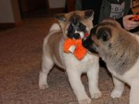 Akita Puppies for Sale,Registered/registerable, Current