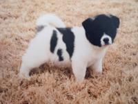 Animal Type: Dogs Breed: Akita visit our site