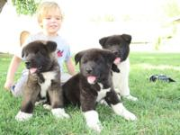 3 purebred Akita puppies, 2 male 1 female. Puppies have