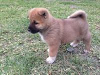 Big bear head Akita pup with great markings. Second