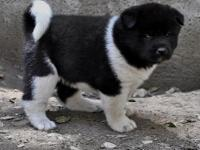 """A HIGH QUALITY AKITA IS NOT EXPENSIVE, IT IS"