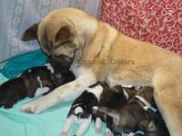 Beautiful AKC American Akita puppies- all colors. -