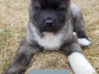 AKC Top quality Akita male puppy available.He super