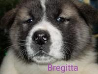 AKC Champion blood lines HIGH QUALITY AKITA.litter born