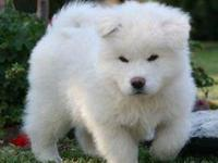 Animal Type: Dogs Breed: Akita lovable , friendly ,
