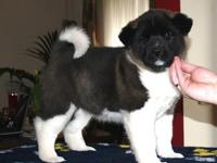 have a loverly litter of 8 akita puppy's for sale