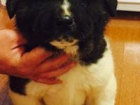 I have 3 puppies and parents for sale, up 2 date on