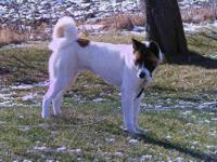 Akita - Rose - Large - Young - Female - Dog This is