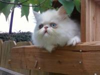 Beautiful CFA persian furballs are raised in our home
