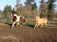 Aladdin is a large Spotted Saddle horse gelding, he is