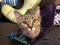Aladdin's story I am a super sweet and snuggly kitten