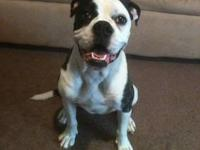 Pure breed Alapaha Blue Blood Bulldog. 8 month old