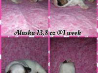 Alaska is a beautiful White & Fawn French Bull Tzu. Dam