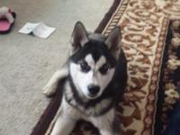 My alaskan/siberian Husky pup needs a new home. I can