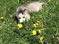 Dark grey and white Alaskan husky female puppy with