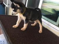 Theirs female alaskan klee kai puppies for sale! All