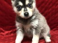 Roxy is a mini size Black and White AKK with two blue