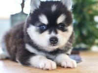 Moses is a gorgeous Miniature Husky fella. This