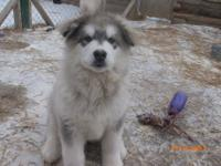 We have 1 male ready now Akc limited registration. He
