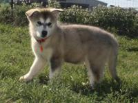 Alaskan Malamute - Brook - Extra Large - Young - Male -