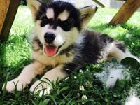Alaskan Malamute Puppies for