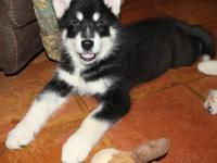 AKC Black and White Female Alaskan Malamute. We are a