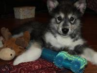 AKC Sable Female Alaskan malamute. We are a small